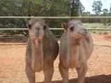 Australia exports camels to SaudiArabia!