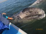 Gray whales fight for touristsattention