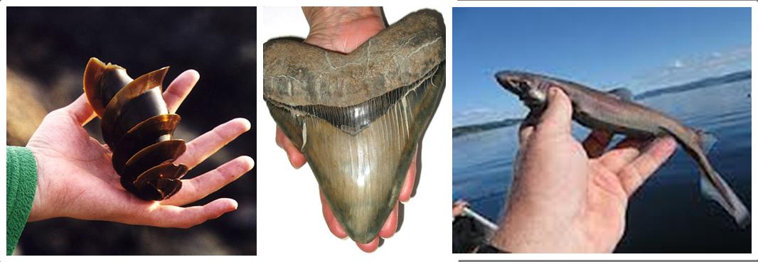 Dwarf lantern shark teeth - photo#11